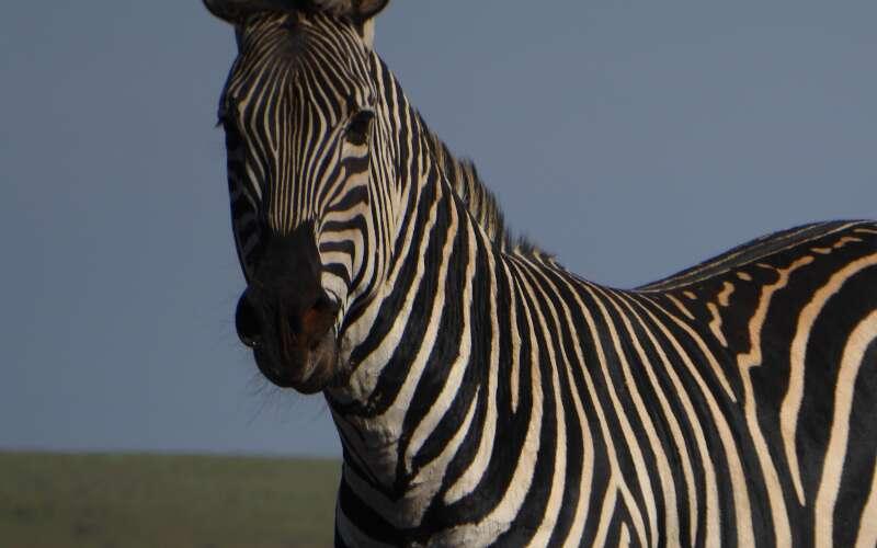 Klassenfahrt_Heidelberg_Zoo_Zebra